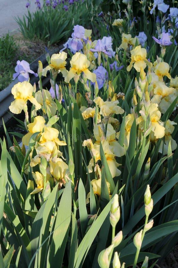 The iris flower. Beautiful purple flower in bloom on a crisp spring morning. Flower iris, lilac petals and green leaves. The iris flower. Beautiful purple flower royalty free stock photos