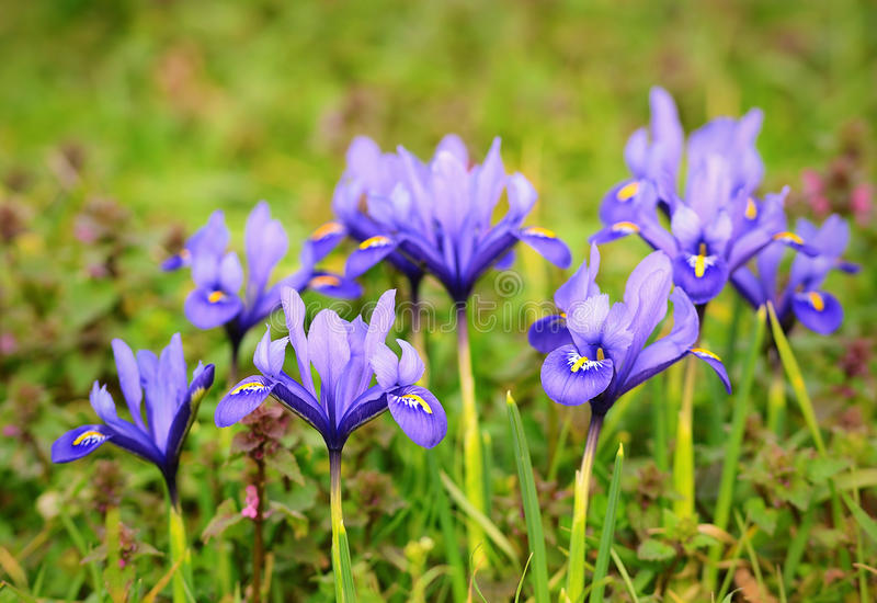 Iris flower bloom early spring royalty free stock photo
