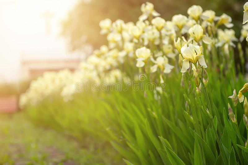 Iris flower blooming at church yard. White yellow iris flowers blooming in spring at the church yard, summer seasonal floral background royalty free stock photos