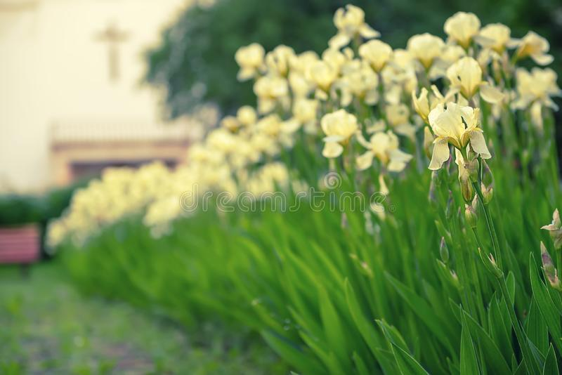 Iris flower blooming at church yard. White yellow iris flowers blooming in spring at the church yard, summer seasonal floral background royalty free stock image