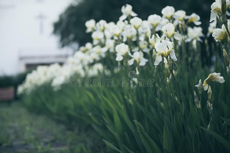 Iris flower blooming at church yard. White yellow iris flowers blooming in spring at the church yard, summer seasonal floral background royalty free stock photography