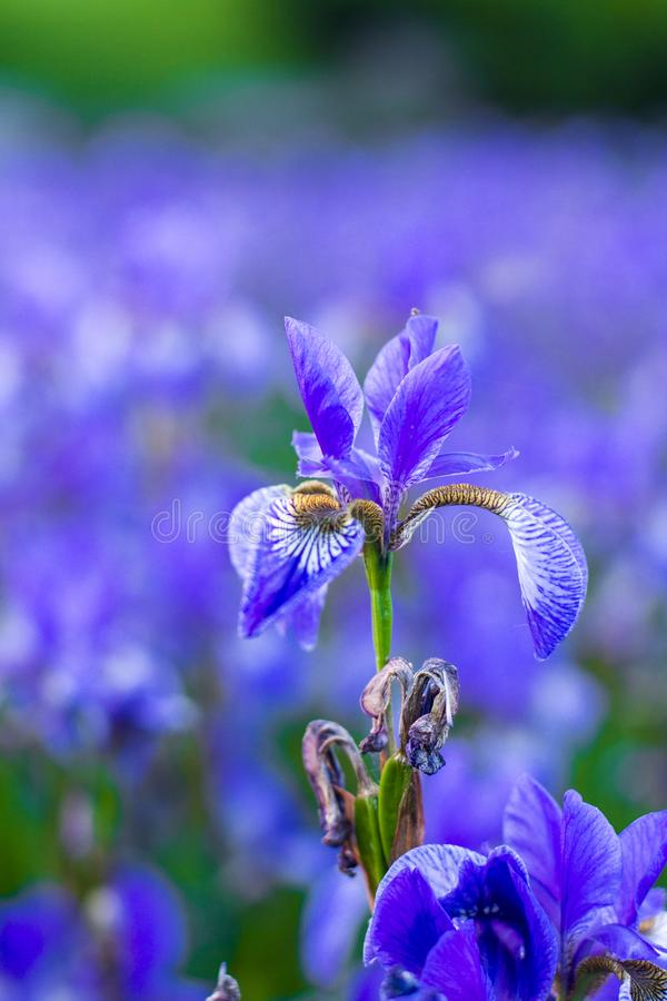 Iris flower. Blooming field of flowers royalty free stock images
