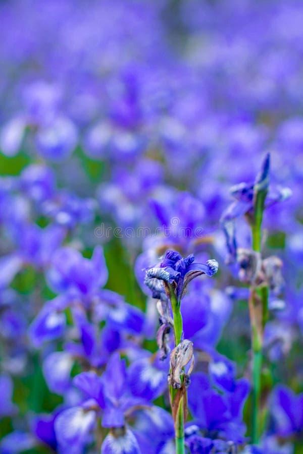 Iris flower. Blooming field of flowers stock images