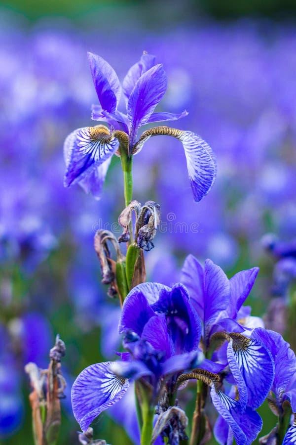 Iris flower. Blooming field of flowers royalty free stock photos