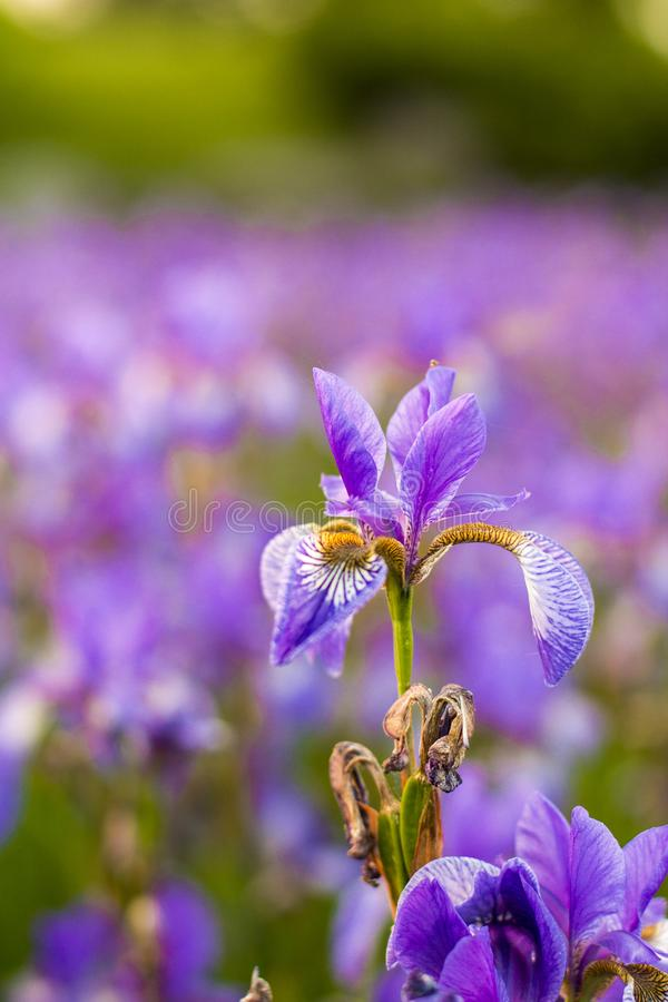 Iris flower. Blooming field of flowers stock photography