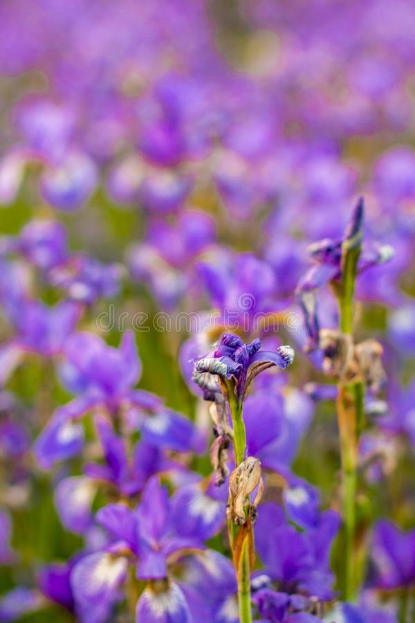 Iris flower. Blooming field of flowers royalty free stock photo