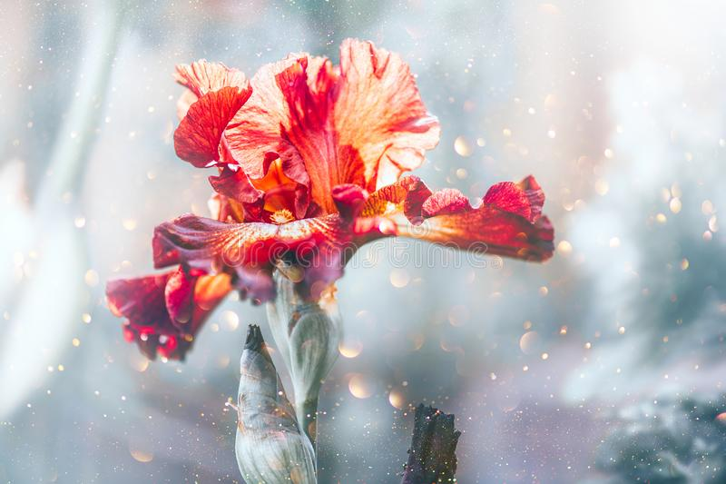 Iris Flower blooming in a garden. Beautiful Brown with yellow colour Iris Flower growing close up. Floral background, Gardening. Concept royalty free stock photos