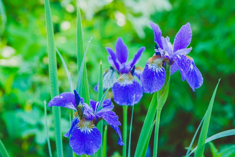 Iris flower blooming in the garden. Shallow depth of field stock images