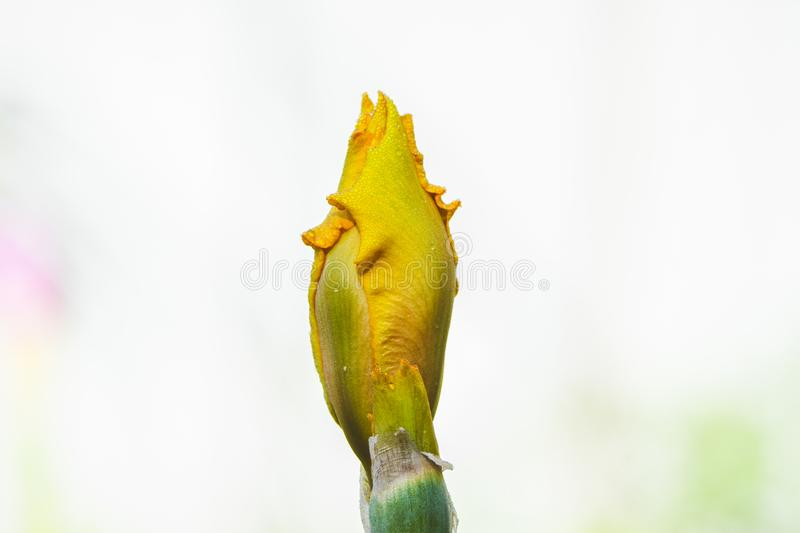 Iris flower blooming in the garden. Shallow depth of field royalty free stock photography