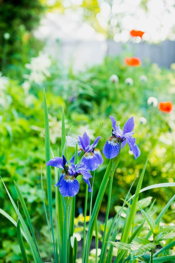 Iris flower blooming in the garden. Shallow depth of field royalty free stock image