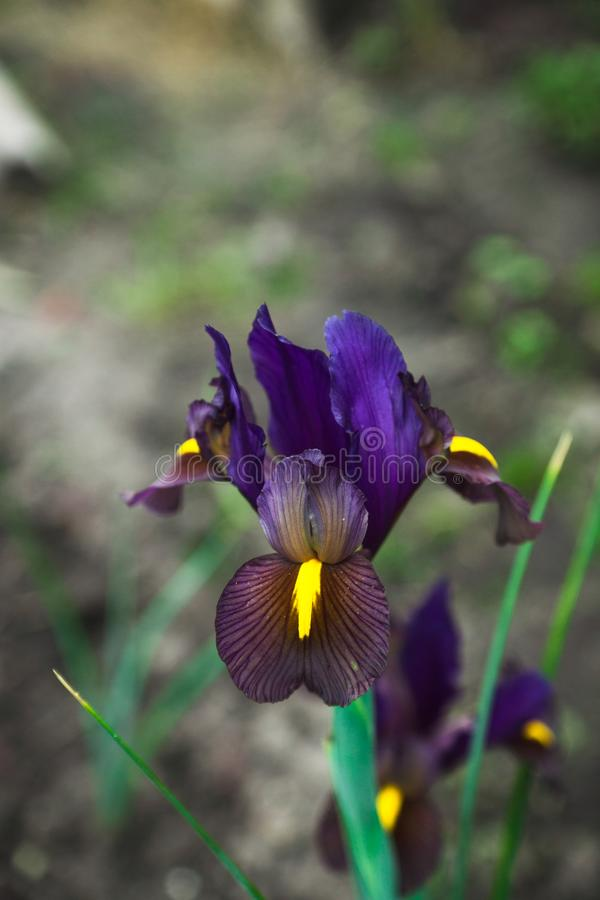 Iris flower blooming in the garden. Shallow depth of field stock image