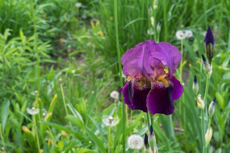 Iris flower. Blooming purple iris, perennial plant of the family Iridaceae royalty free stock image