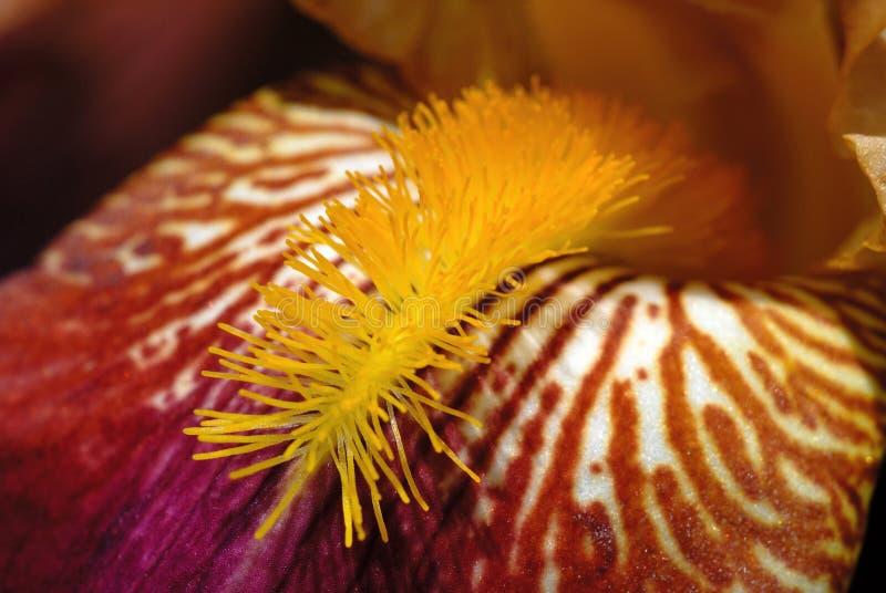 Iris flower blooms in spring closeup royalty free stock photos