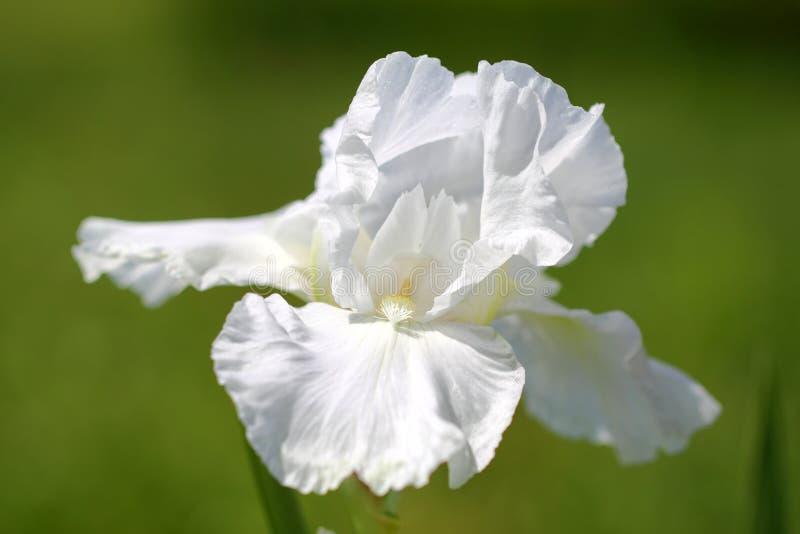 Iris Flower branca fotografia de stock