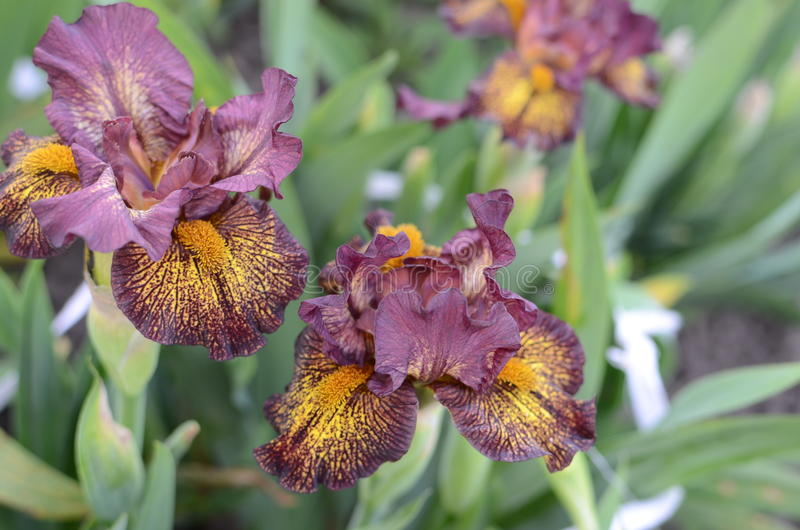 Iris flower closeup royalty free stock image