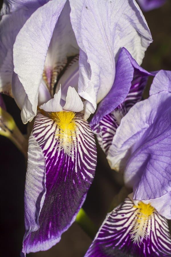 Iris flower closeup royalty free stock images