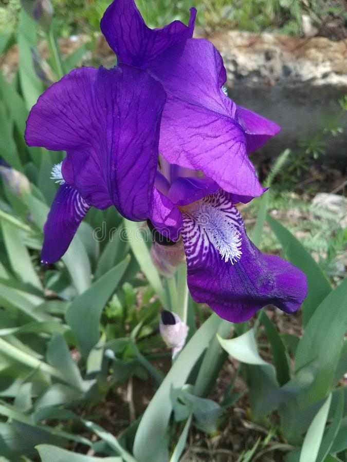 Iris - a flower created by nature, full of grace, tenderness and strength. Iris is a flower created by nature, full of grace, tenderness and strength. You can stock image