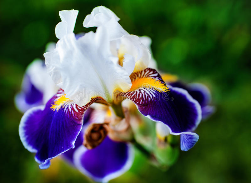 Iris flower. On the flowerbed stock image