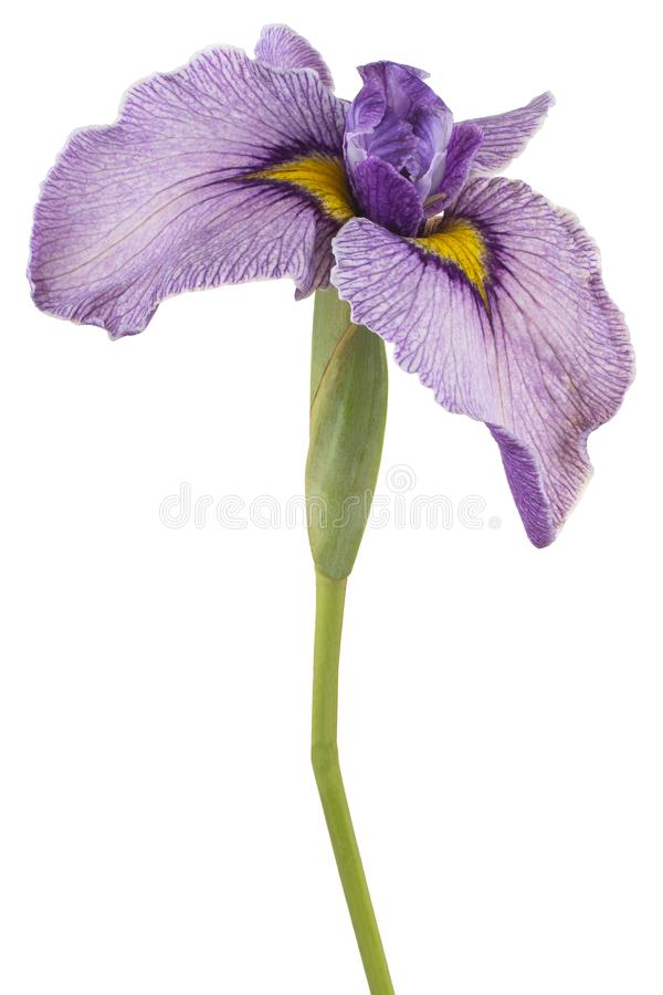 Free Iris Flower Isolated Royalty Free Stock Image - 163455376