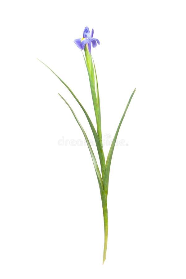 Iris flower. Isolated on white background stock images