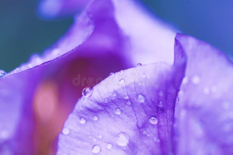 Iris flower macro photo. Violet beautiful blooming petal after rain stock photo