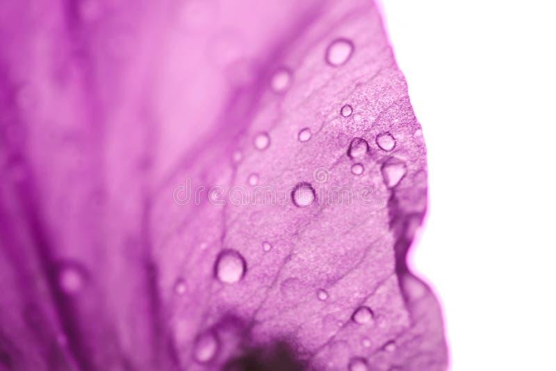 Iris flower macro photo. Violet beautiful blooming petal after rain stock photos