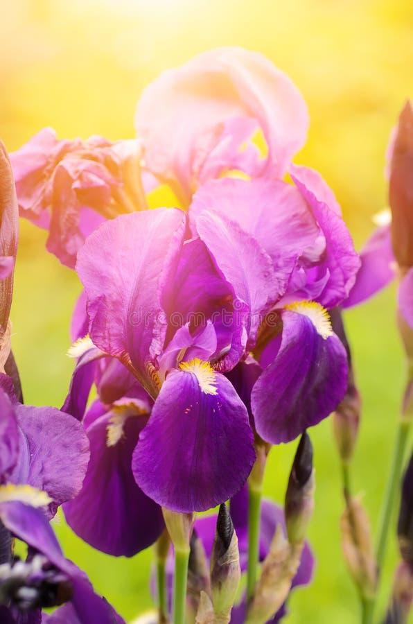 Download Iris Flower In Nature Stock Photo - Image: 83702583