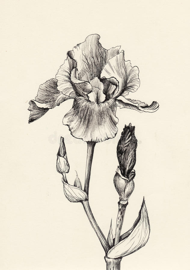 Iris flower pen and ink drawing. Iris flower pen and ink original drawing. Vintage engraving style royalty free illustration