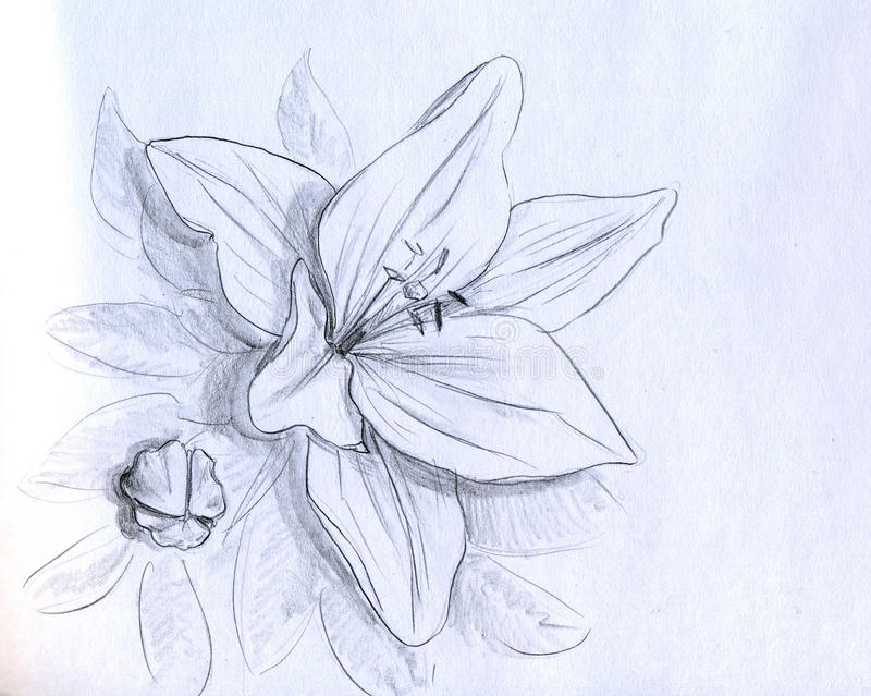 Iris flower - pencil sketch royalty free illustration