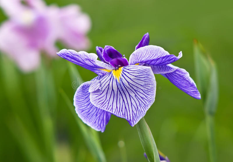 Iris flower in purple and white. Multicolor Iris flower in purple and white blooming in the garden flowerbed stock photo