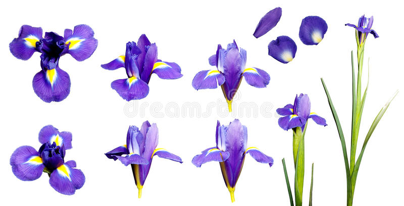 Iris flower set. Set of eight iris flower and petals isolated on white background royalty free stock images