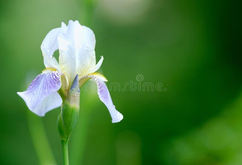 Download Iris Flower. Shallow DOF. Stock Photo - Image: 16237510