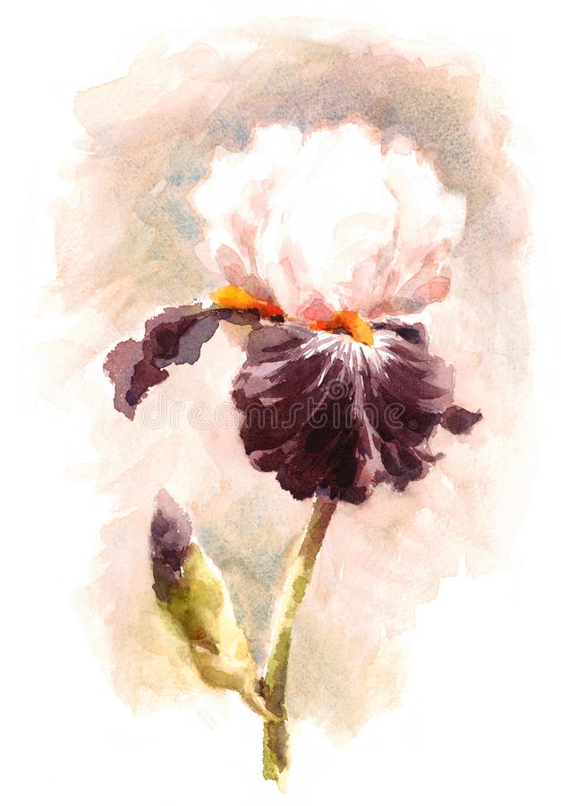 Iris Flower Watercolor Illustration Hand a peint illustration libre de droits
