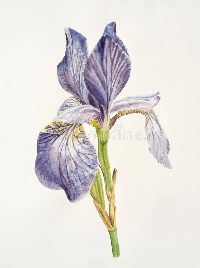 Iris flower on white background stock image