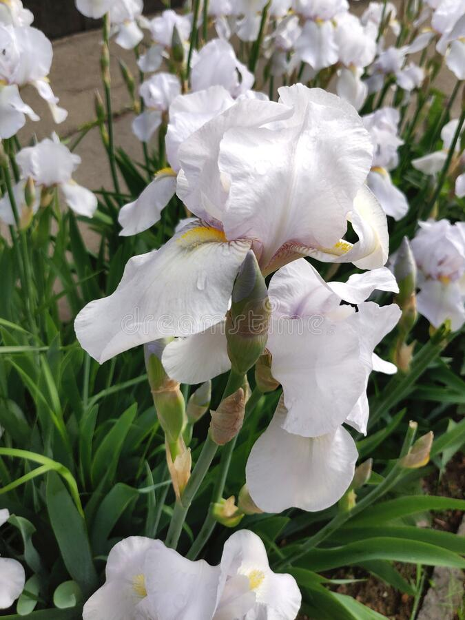 Iris flower white royalty free stock images