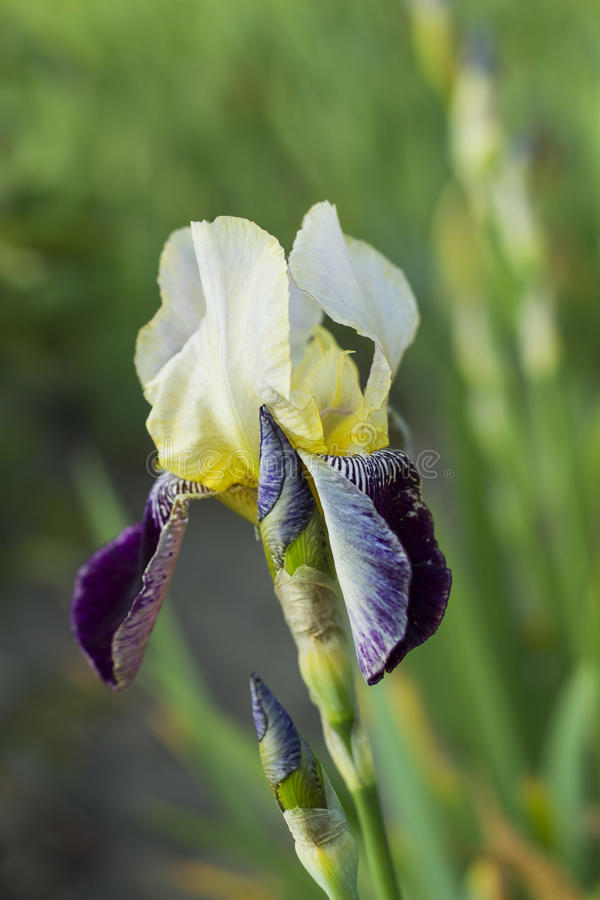 Iris flower with white and violet petals stock photos