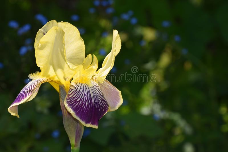 Iris flower yellow and purple. A yellow and purple giant iris flower in late Spring in a UK garden stock image
