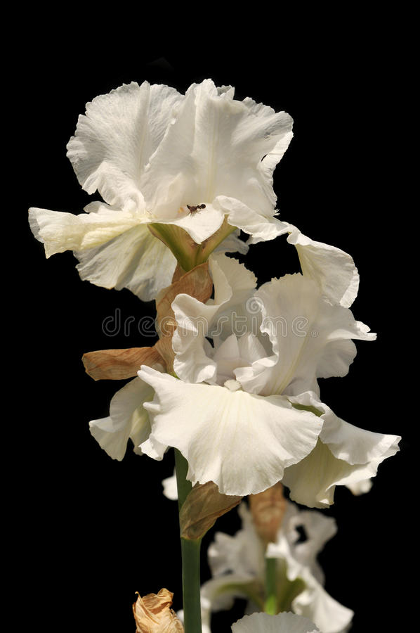Iris flowers. White iris flowers on a sunny day isolated on a black background stock image
