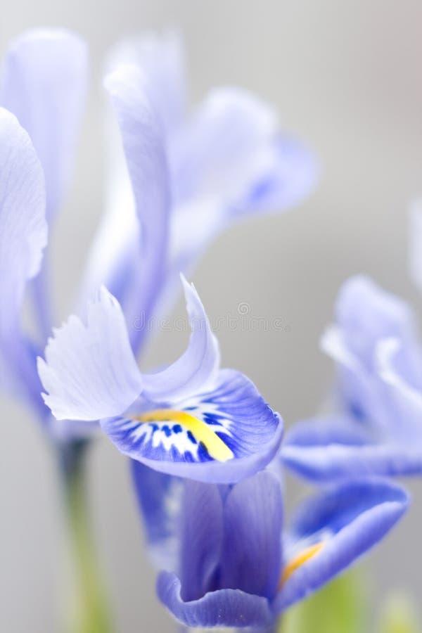 Iris flowers stock photos