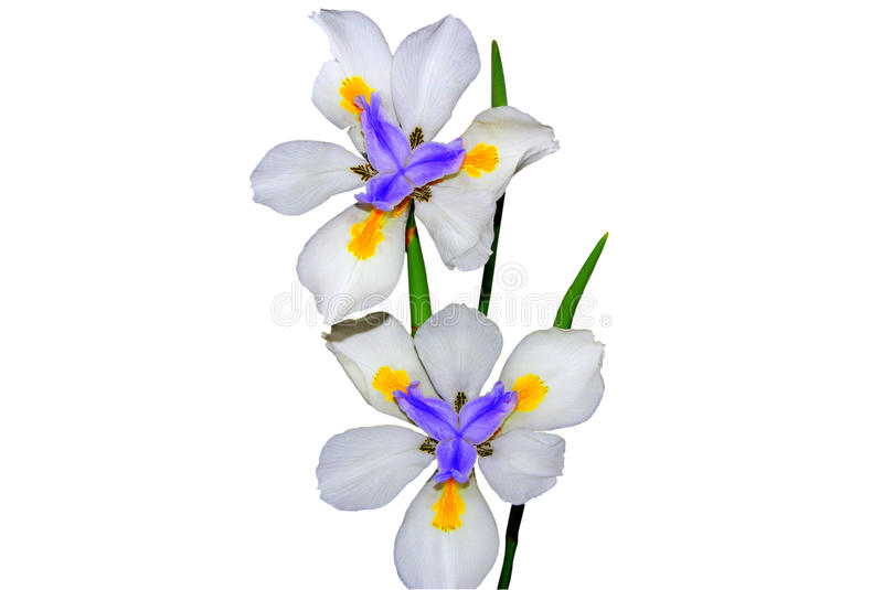 Iris flowers. Two iris flowers isolated on a white background stock photography