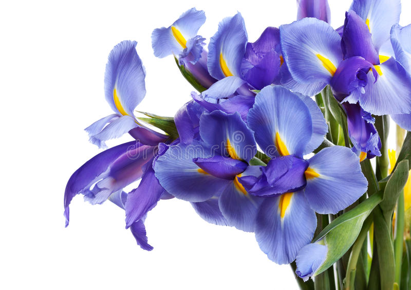 Iris flowers. Isolated on white royalty free stock images