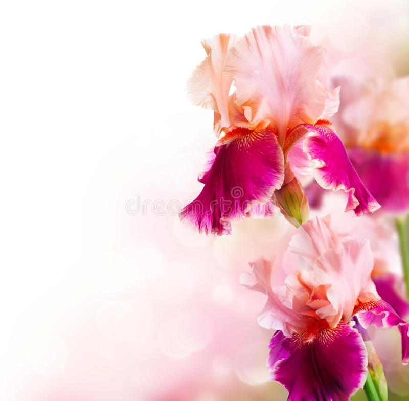 Iris Flowers Art Design. Beautiful Flower royalty free stock image