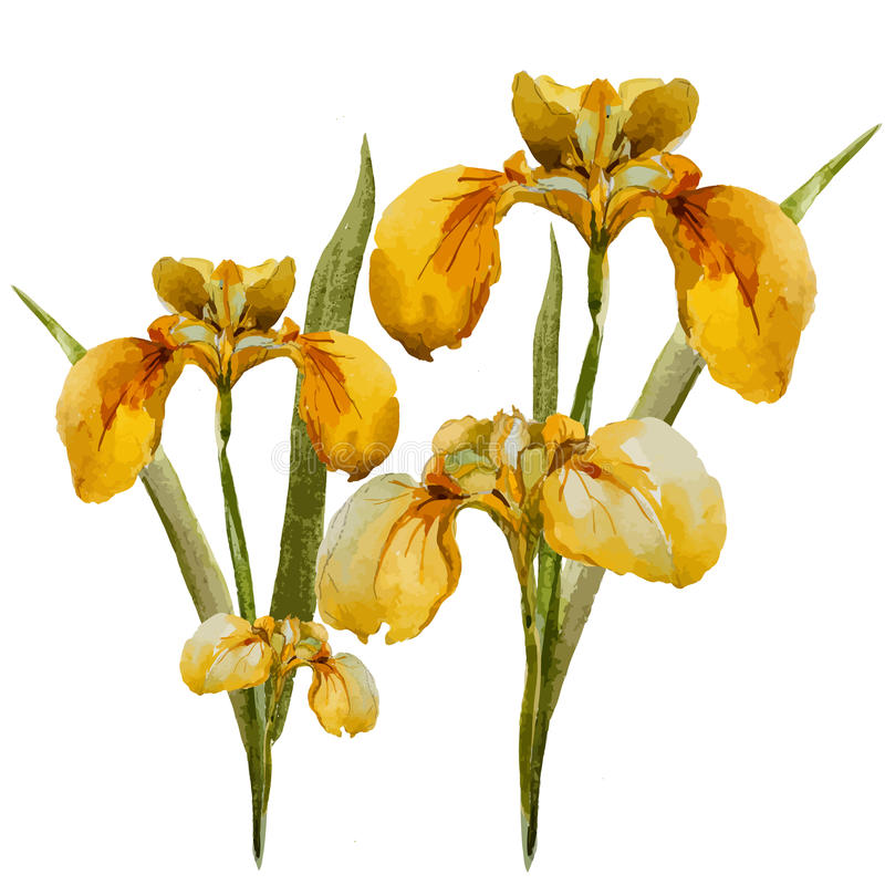 Iris flowers stock illustration