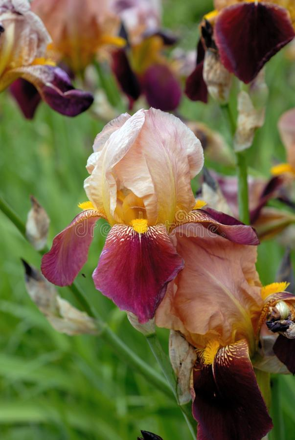 Iris flowers bloom in the garden. Shallow depth of field royalty free stock photos