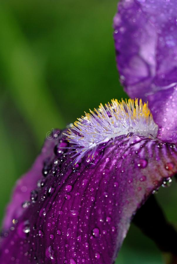 Iris flowers bloom in the garden. Shallow depth of field stock images