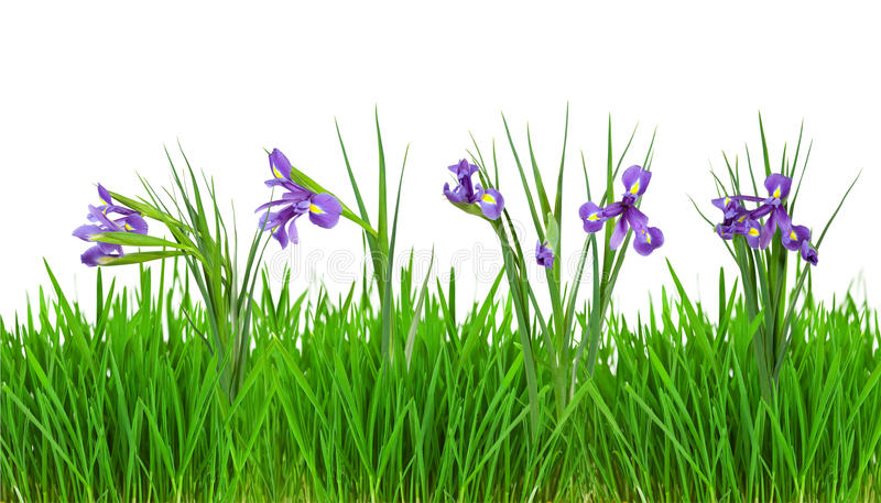Iris flowers in grass border isolated on white stock for Tall border grass