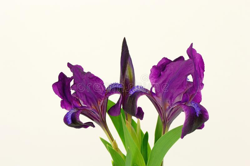 The Iris flowers. Iris flowers isolated on white. Close-up royalty free stock photo