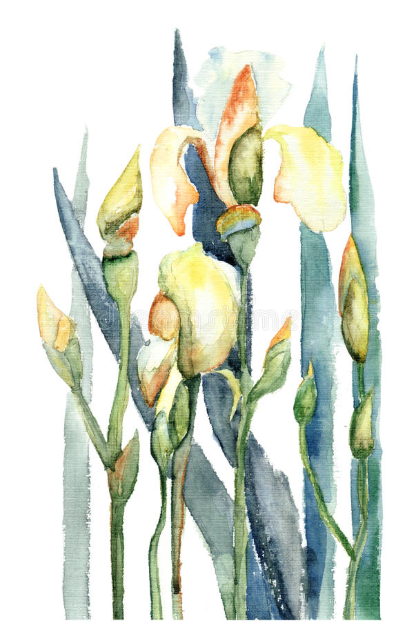 Download Iris Flowers, Watercolor Illustration Stock Illustration - Image: 25709275