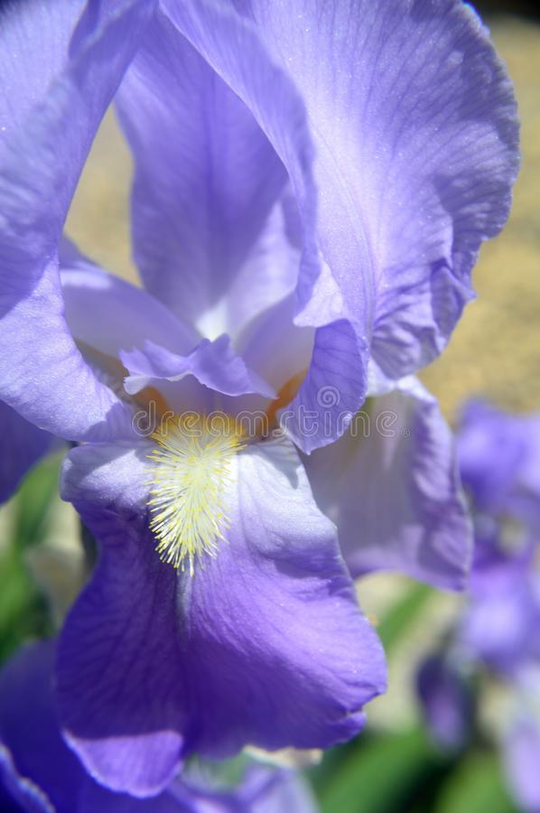 Download Blue-violet bearded iris stock photo. Image of perennial - 104289530