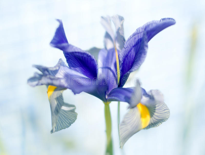 Iris Germanica royalty-vrije stock foto